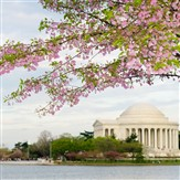 Washington DC Cherry Blossom